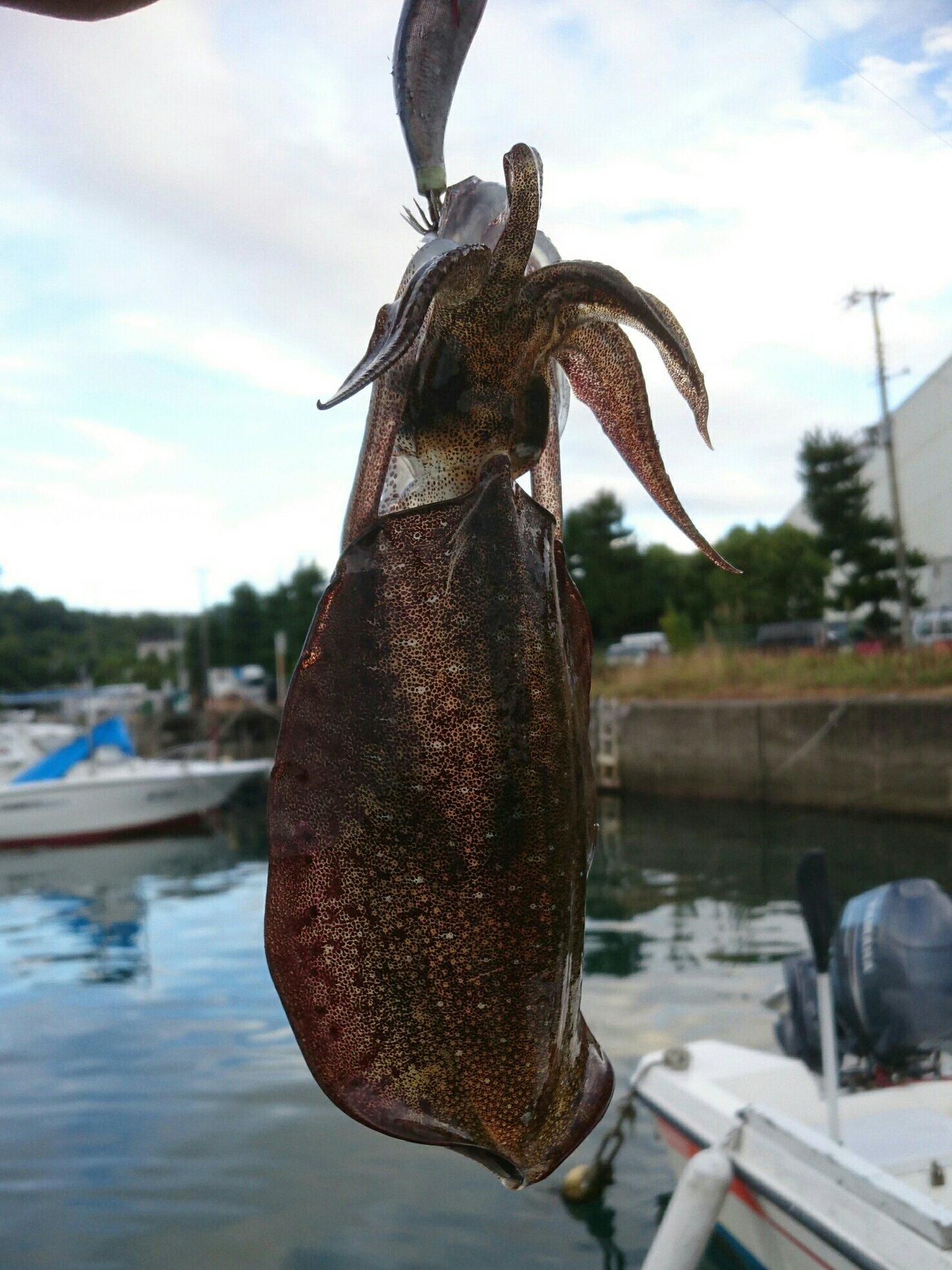 じゅ~ん!さんの投稿画像,写っている魚はアオリイカ