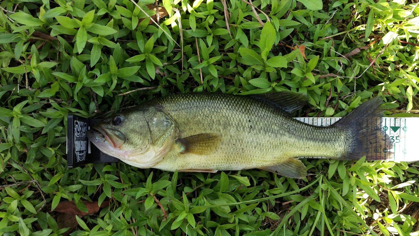 フルフルさんの投稿画像,写っている魚はブラックバス
