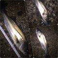 マーシーさんの千葉県船橋市での釣果写真