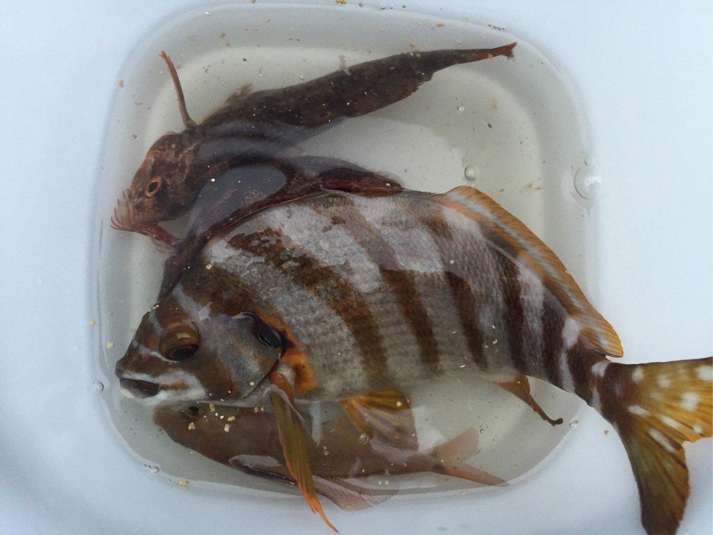 fish hunter 57号さんの投稿画像,写っている魚はタカノハダイ