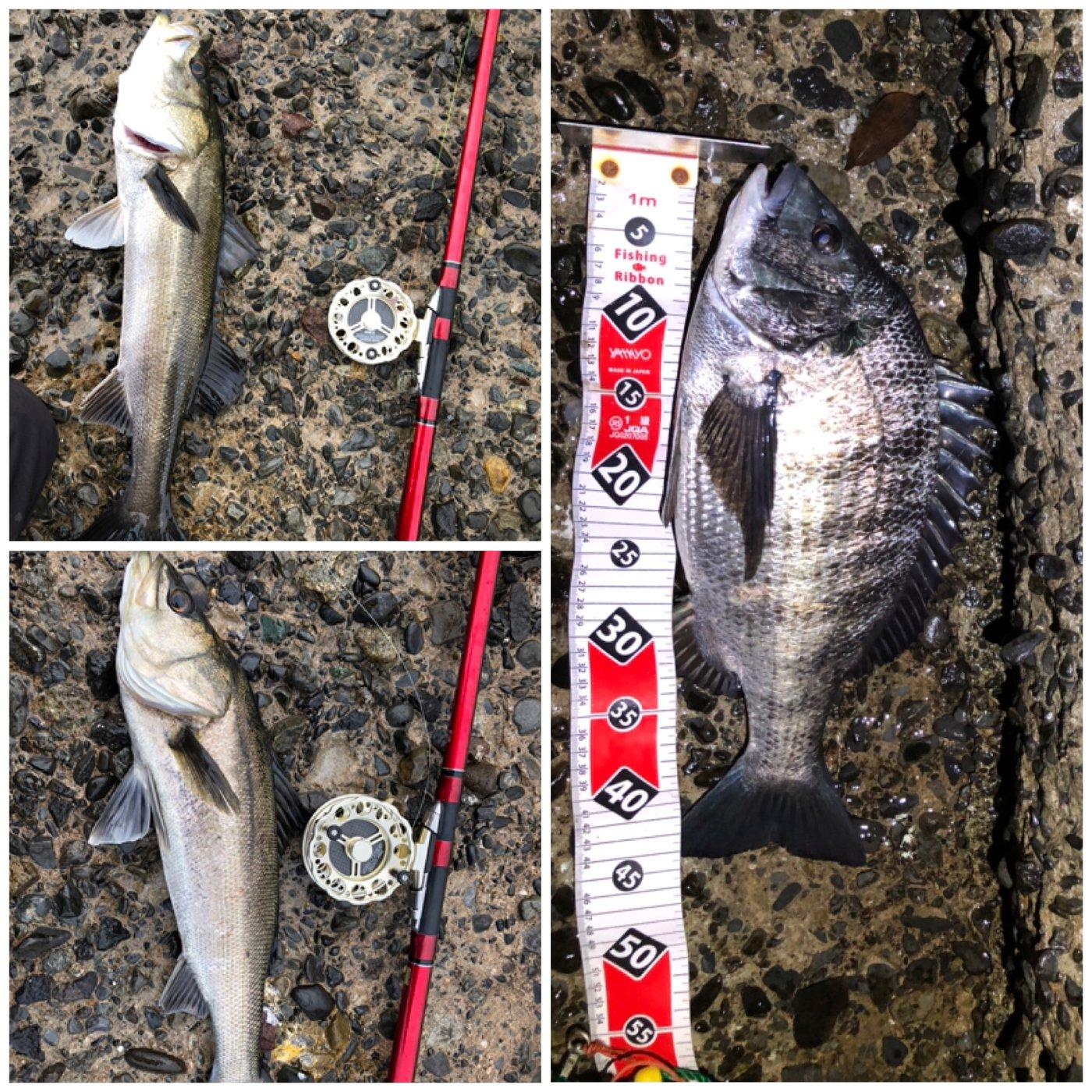 赤眼のあきと(REV)さんの投稿画像,写っている魚はクロダイ