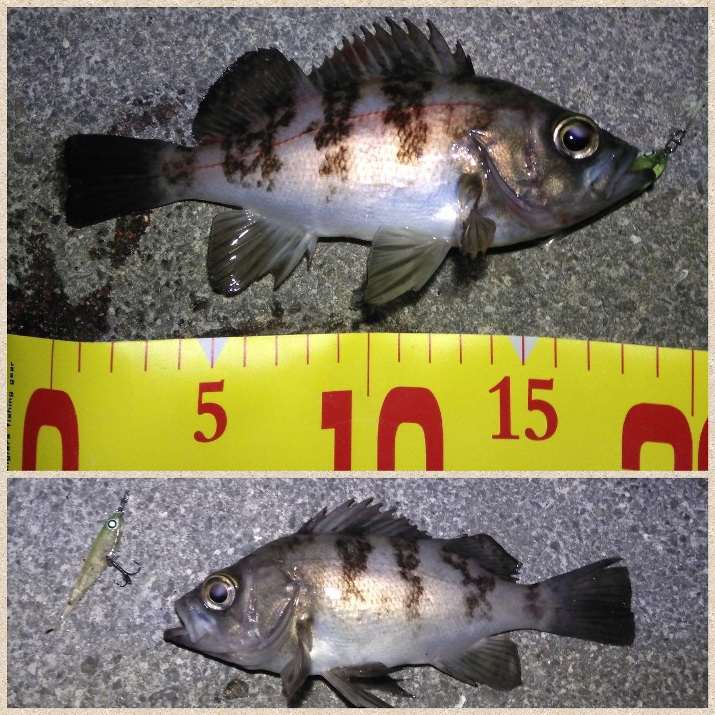 アブさんの投稿画像,写っている魚はメバル