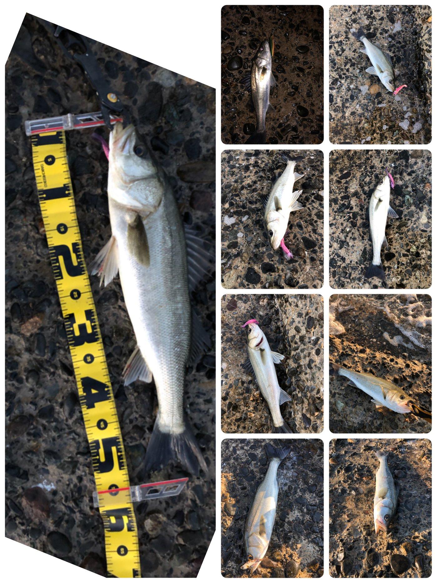 かずさんの投稿画像,写っている魚はスズキ
