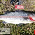 トモチLOWさんの鹿児島県出水郡での釣果写真