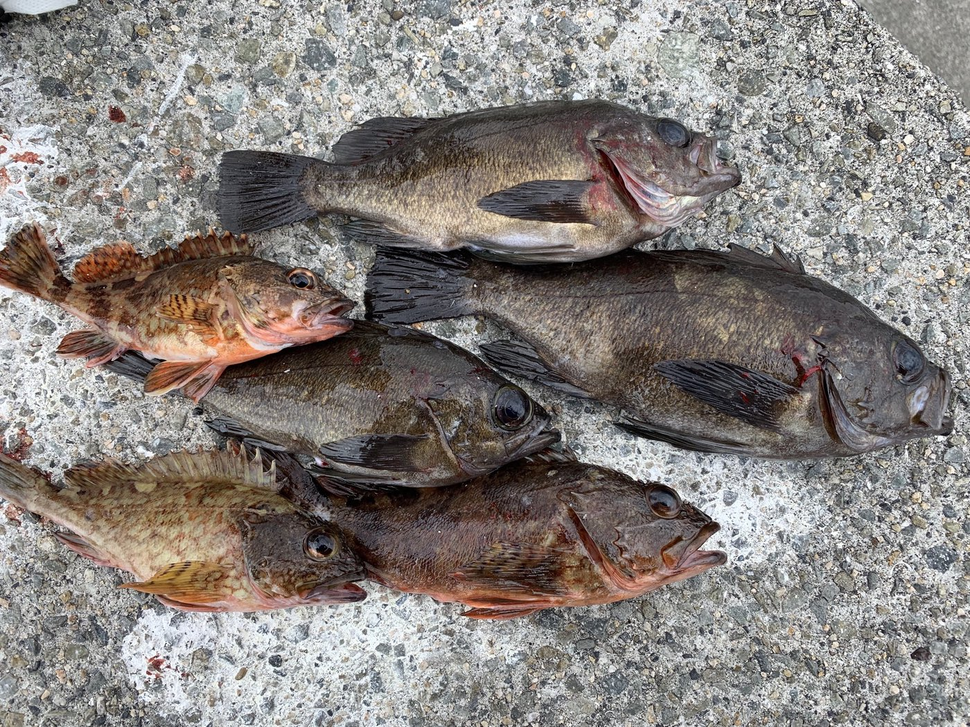 うんすいさんの投稿画像,写っている魚はメバル,カサゴ