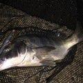 NCMさんの新潟県佐渡市でのクロダイの釣果写真