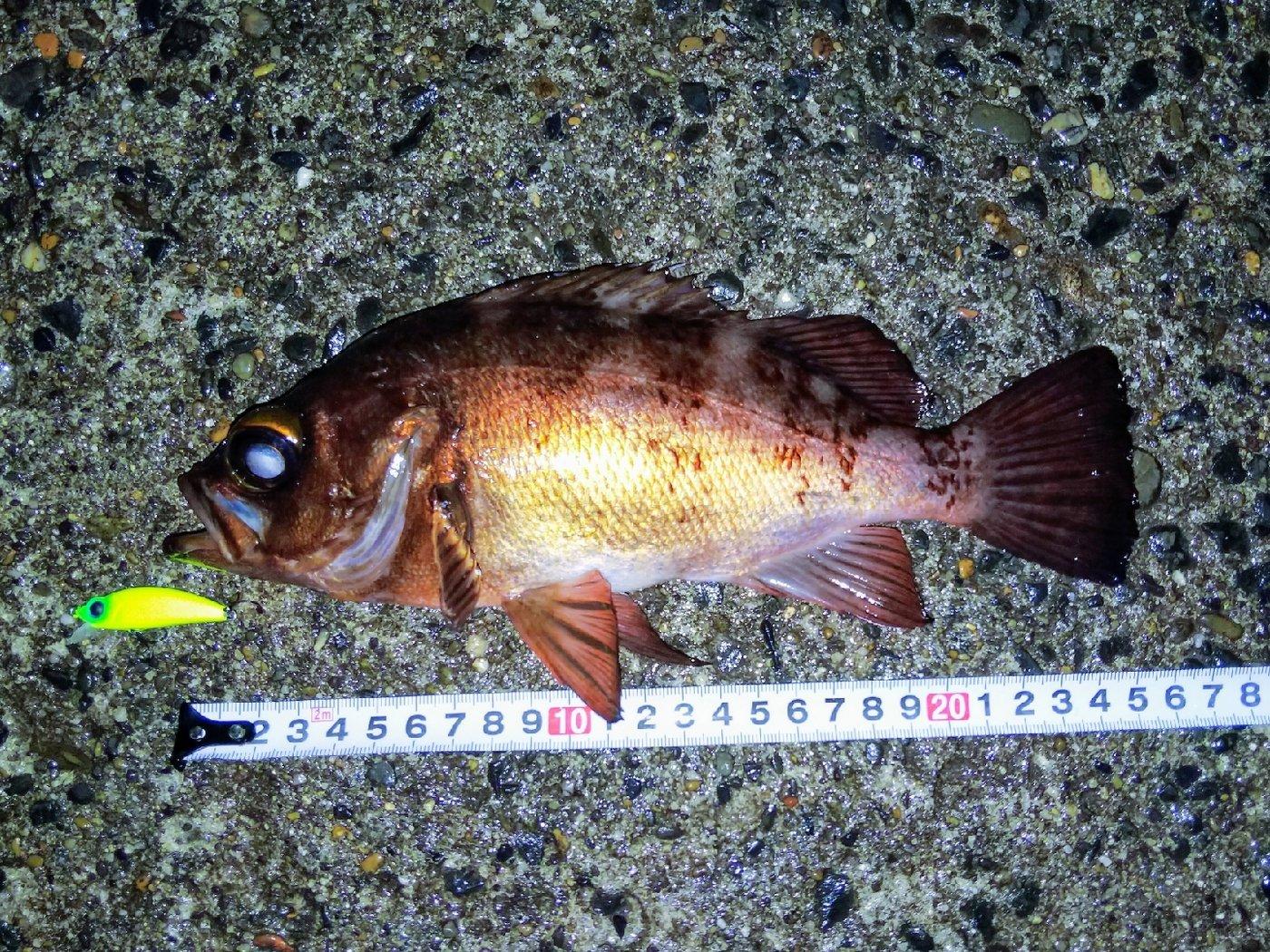 ジーン さんの投稿画像,写っている魚はメバル