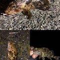 ショウ・アズナブルさんの神奈川県三浦郡でのカサゴの釣果写真