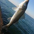 マンボウさんの千葉県船橋市での釣果写真
