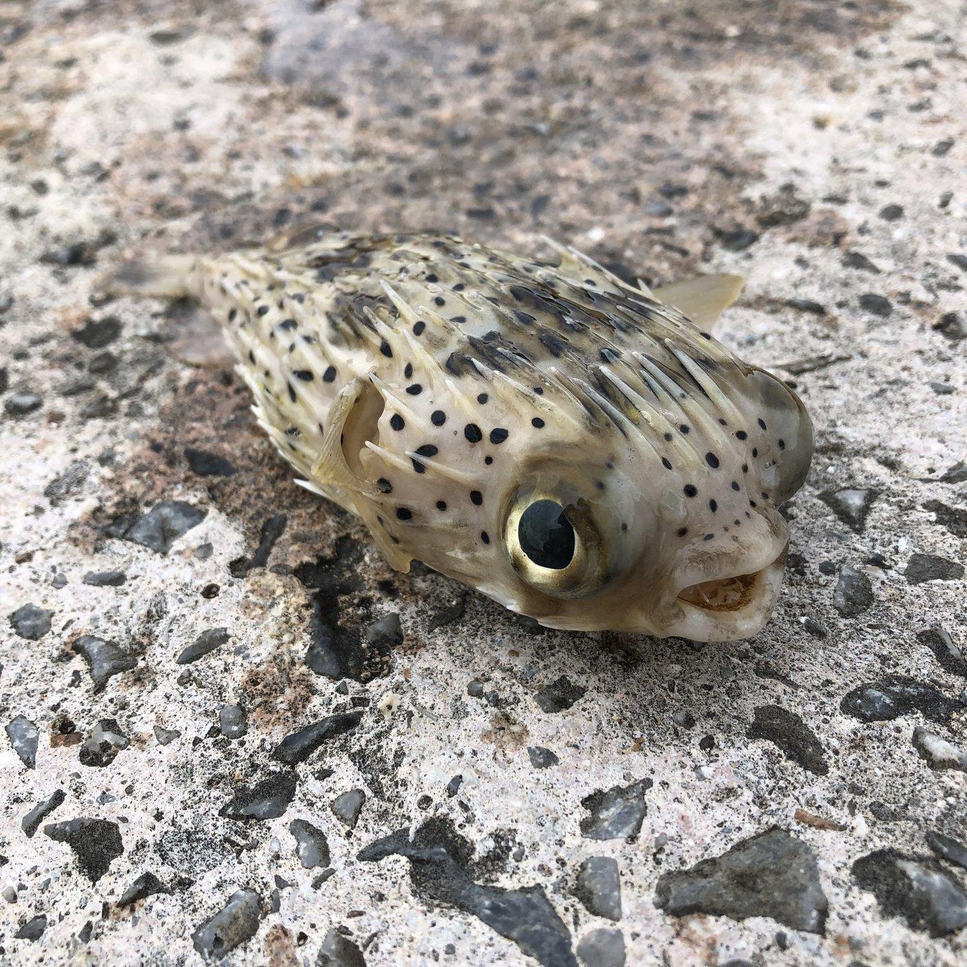 ムッシューむらむらさんの投稿画像,写っている魚はハリセンボン