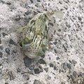 ムッシューむらむらさんの沖縄県でのハリセンボンの釣果写真