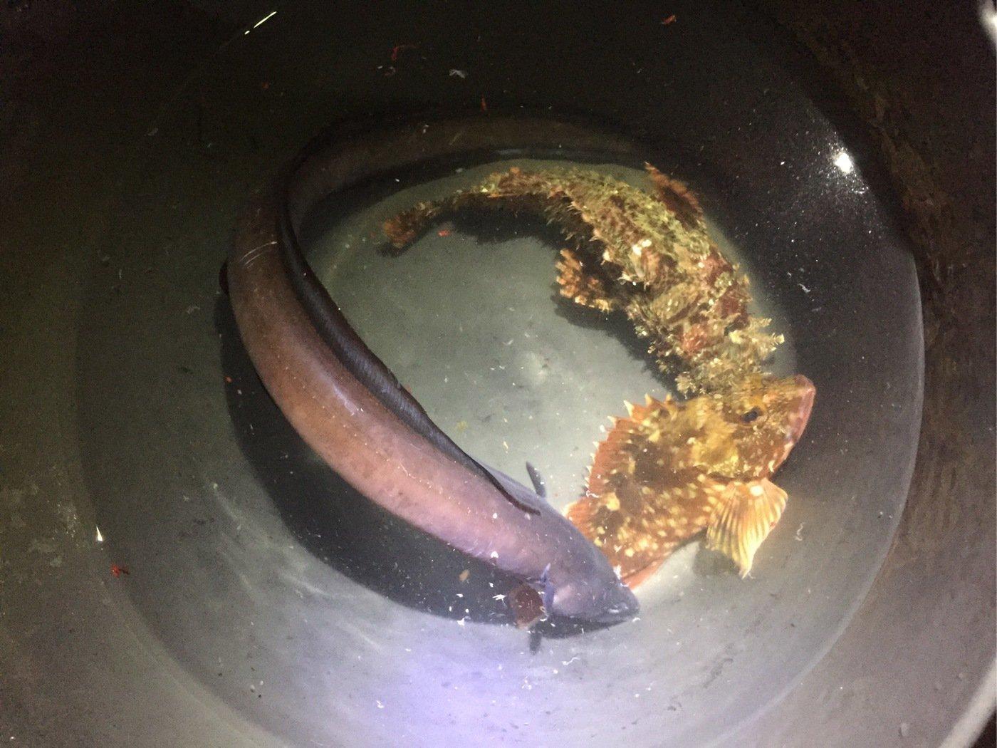 ユウさんの投稿画像,写っている魚はアナゴ