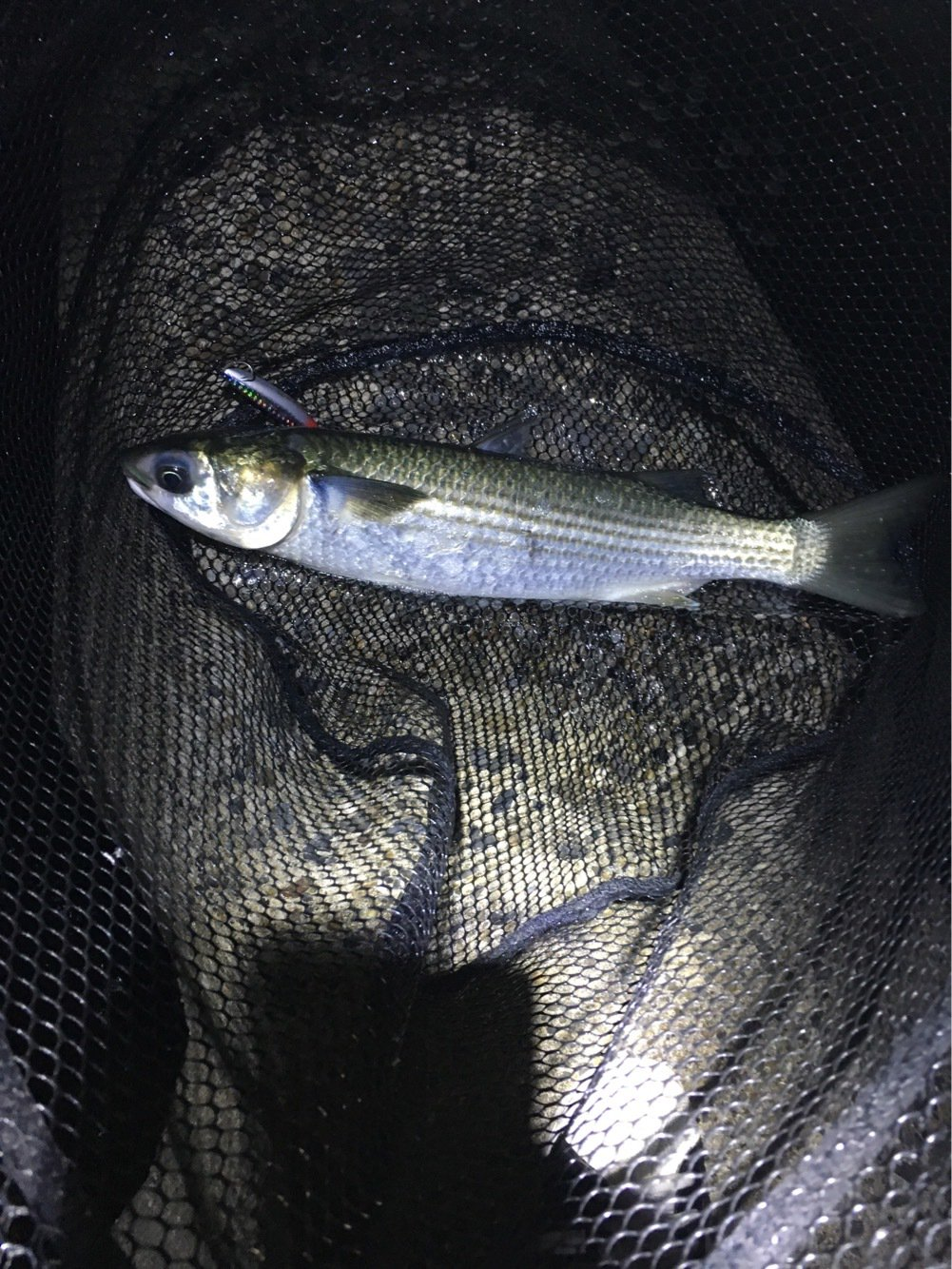 かずさんの投稿画像,写っている魚はボラ
