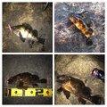 ぎーちゃんさんのタケノコメバルの釣果写真