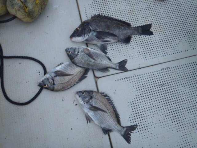 satoyanさんの投稿画像,写っている魚はクロダイ