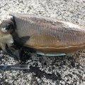 ちゃーりんさんの山口県長門市でのコウイカの釣果写真