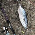 ヨウスケさんのスマの釣果写真