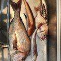山崎 克彦さんのトラギスの釣果写真