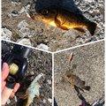 いっとん@駆け出しBFさんのアナハゼの釣果写真