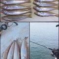 kaito@さんの福岡県宗像市でのシロギスの釣果写真