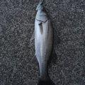 らいとさんの鳥取県鳥取市での釣果写真