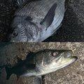御伽さんの千葉県習志野市でのクロダイの釣果写真