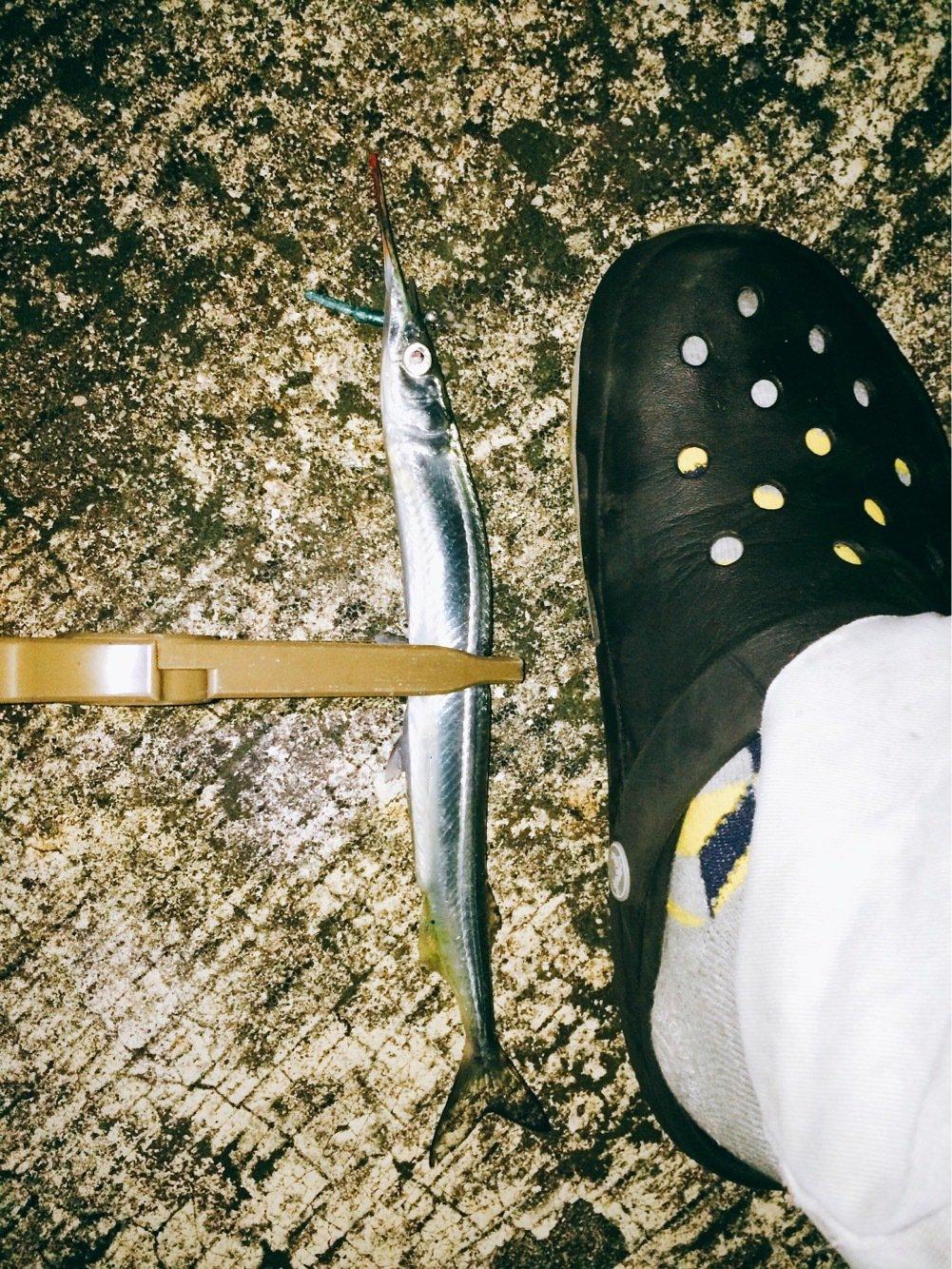 Light®️iggerさんの投稿画像,写っている魚はサヨリ