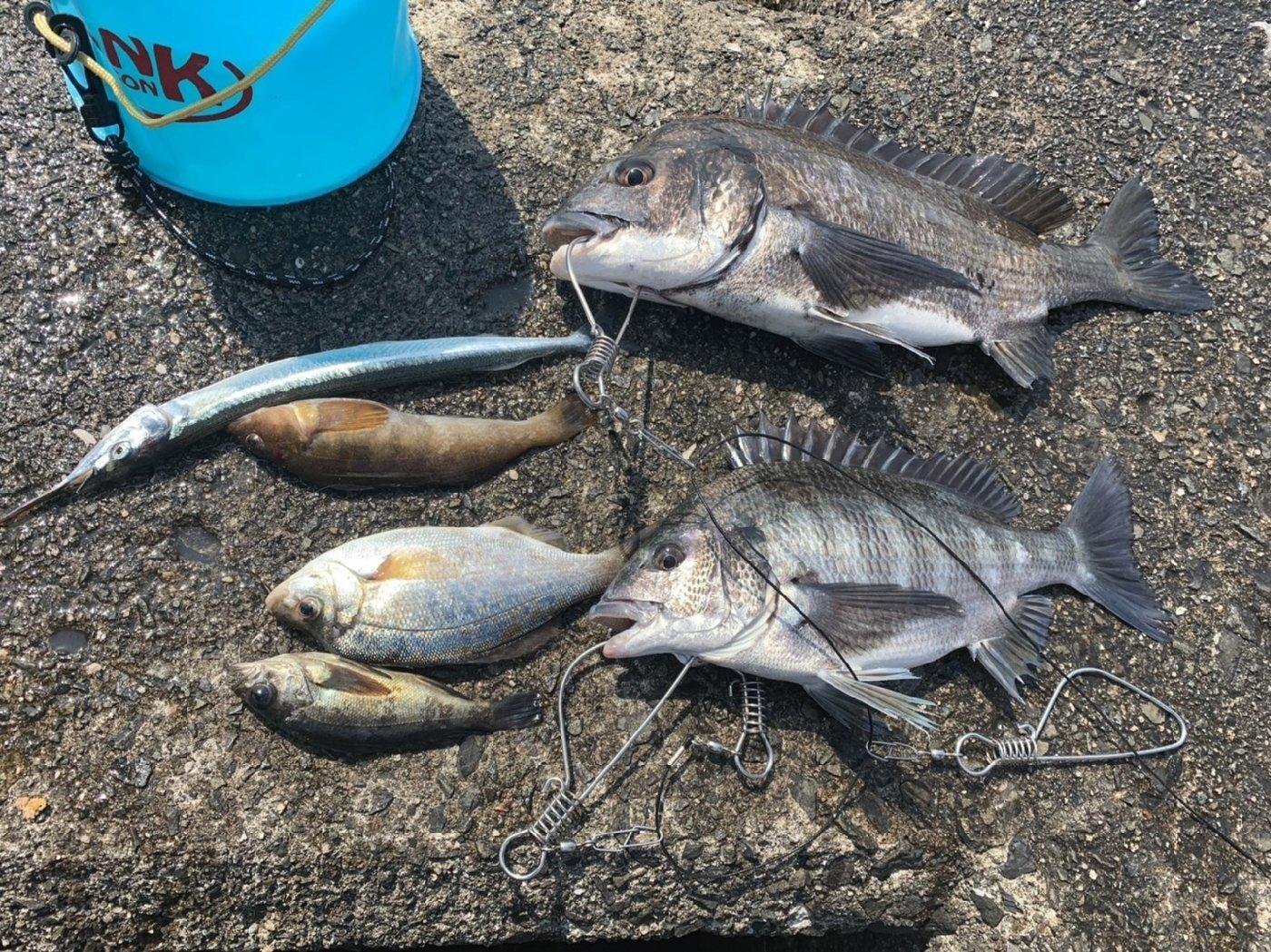 サバチャンさんの投稿画像,写っている魚はサヨリ