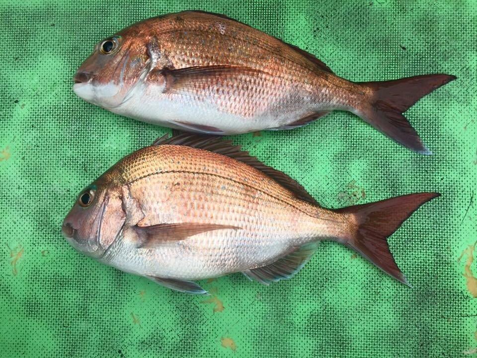 よーすけ。さんの投稿画像,写っている魚はチダイ