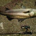 そうたさんの新潟県佐渡市でのスズキの釣果写真