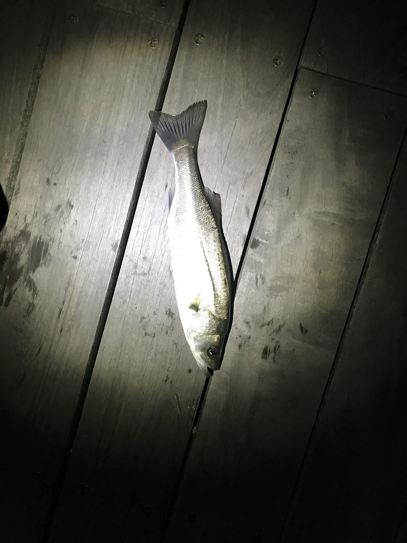 Elenaさんの投稿画像,写っている魚はスズキ