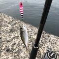 波瑠さんの愛媛県伊予市での釣果写真