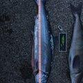 花ちゃんさんの北海道久遠郡での釣果写真