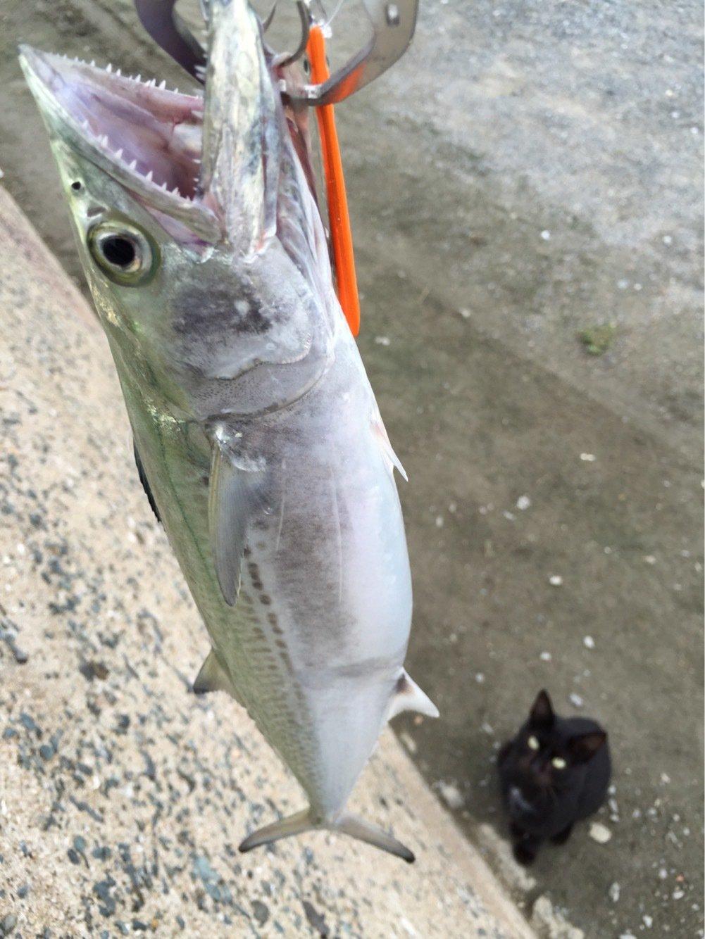 そーすけさんの投稿画像,写っている魚はサワラ