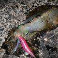 ひょーどるさんの長崎県平戸市でのアオリイカの釣果写真