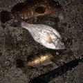 らはまさんの鹿児島県出水市での釣果写真