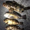 まーさんの香川県坂出市でのタケノコメバルの釣果写真