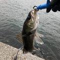 でぐぞうさんの千葉県袖ケ浦市でのスズキの釣果写真