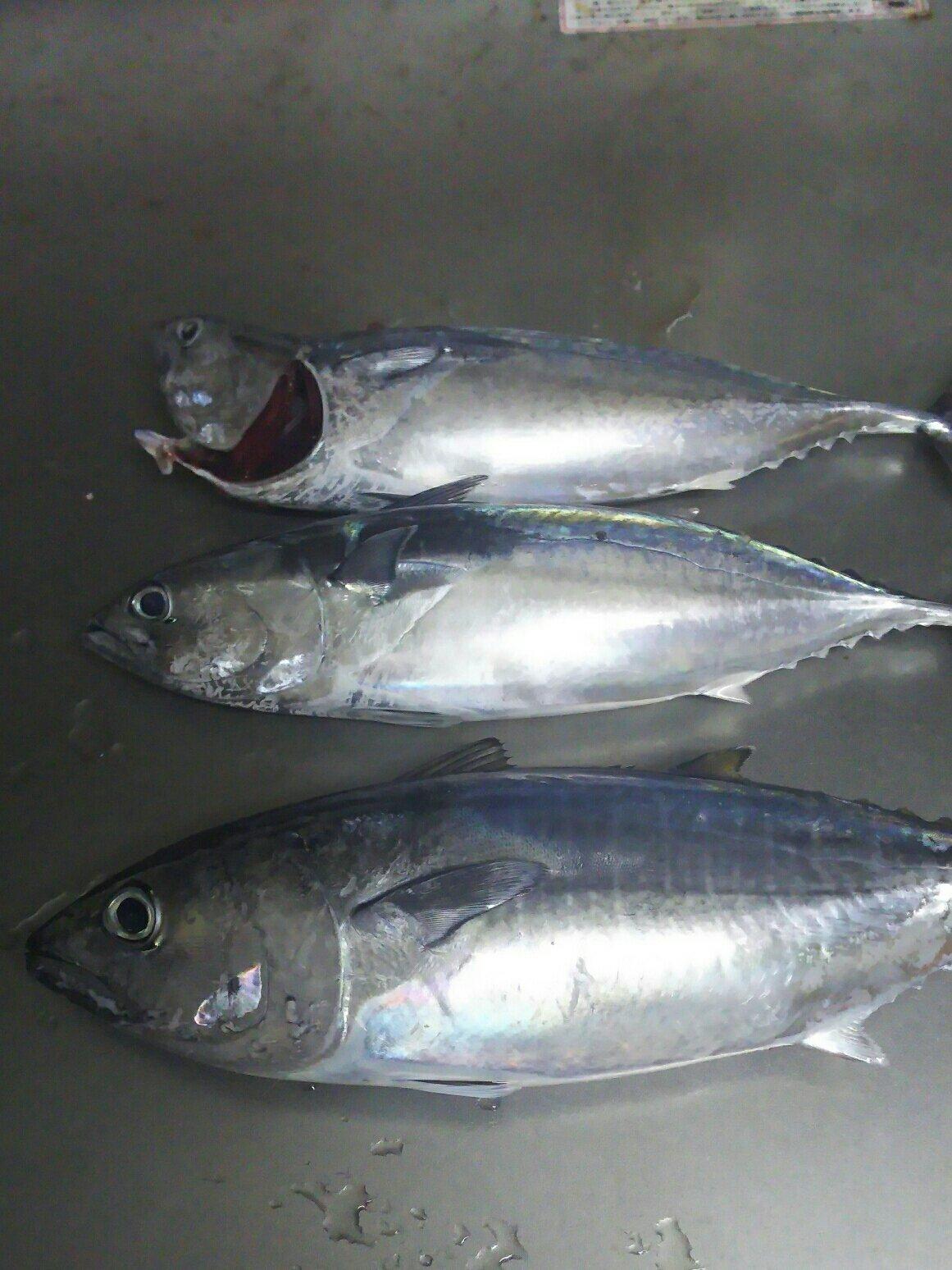 ヨイチさんの投稿画像,写っている魚はメジマグロ