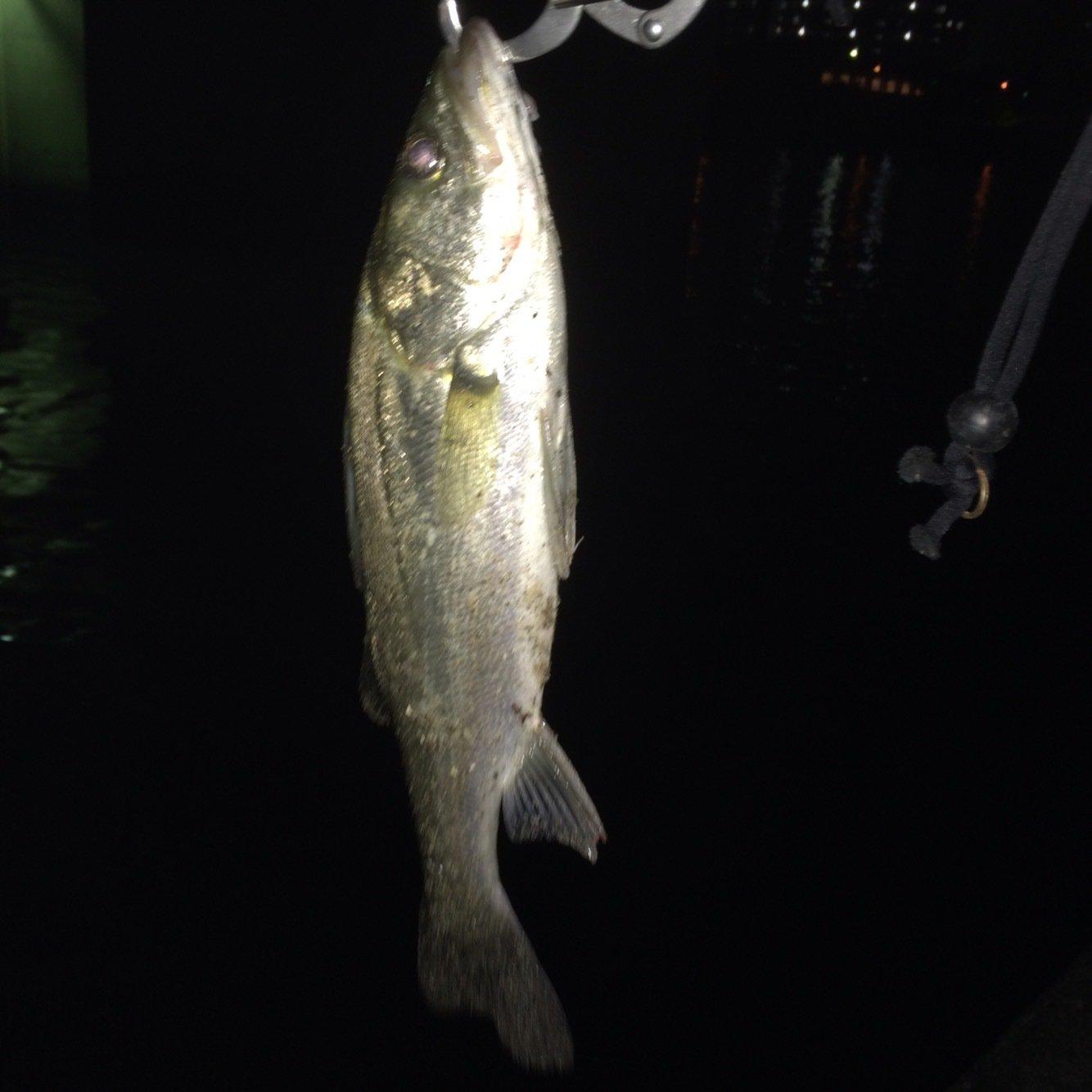 大介さんの投稿画像,写っている魚はスズキ