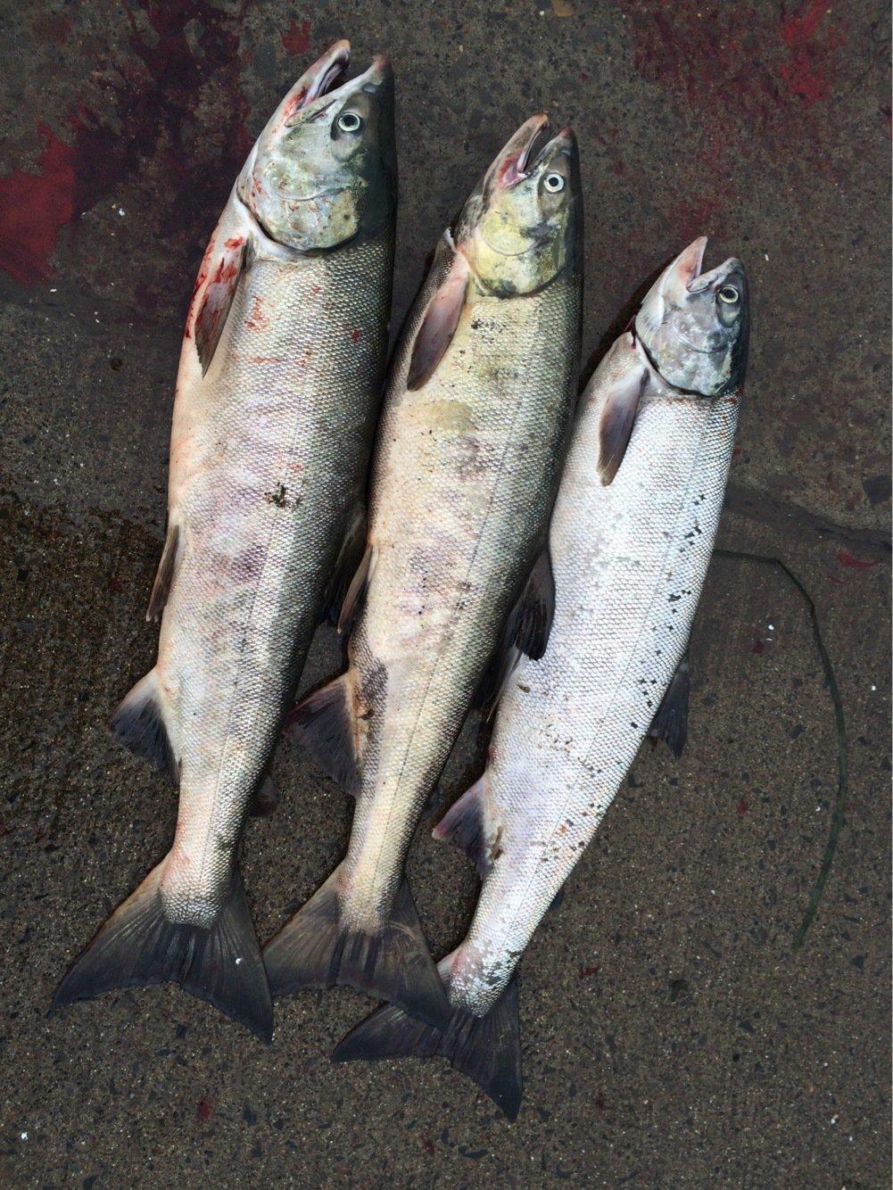 パパちゃんさんの投稿画像,写っている魚はサケ