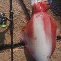 釣りバカさんの福井県敦賀市での釣果写真