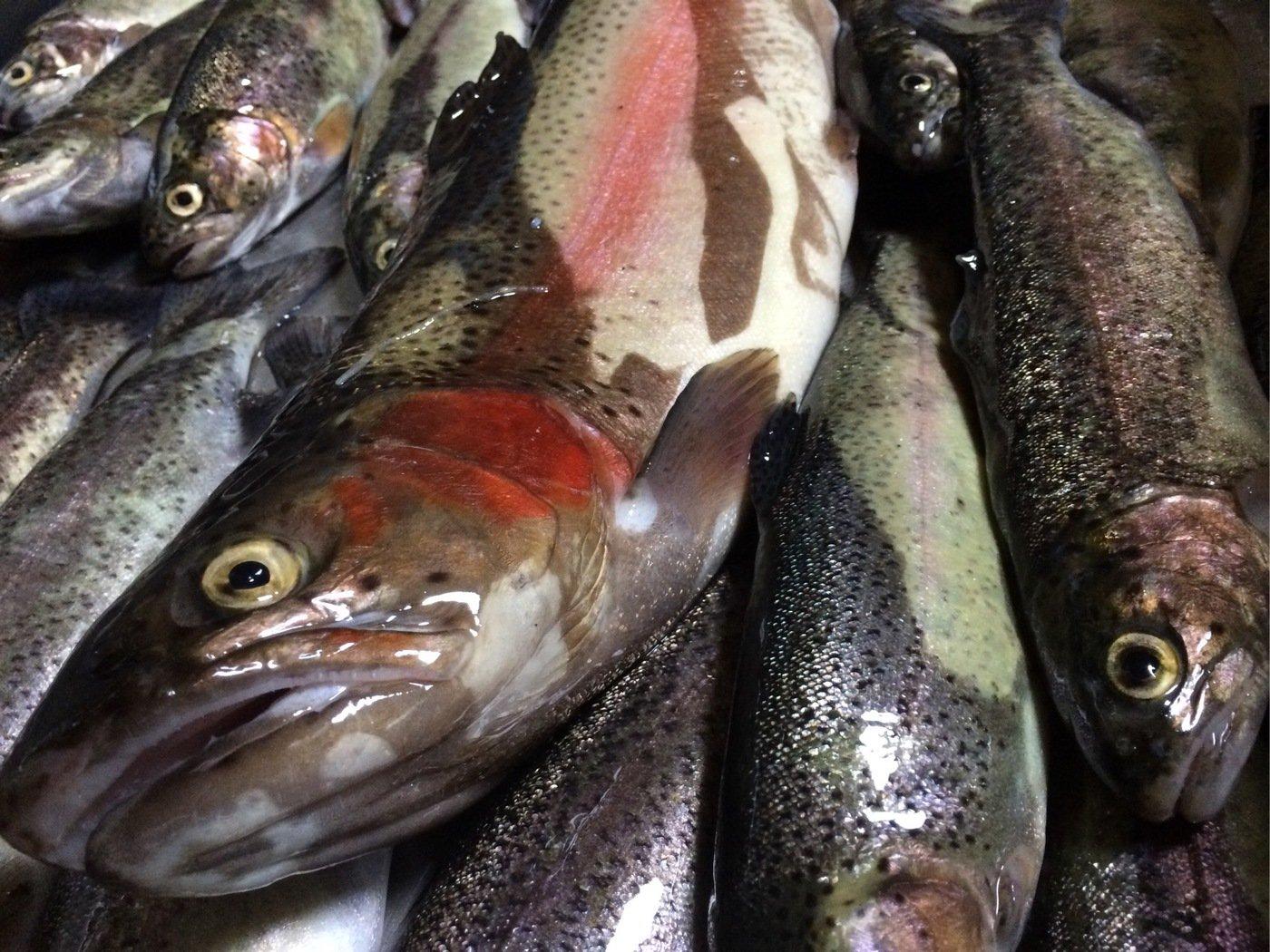 naoさんの投稿画像,写っている魚はニジマス