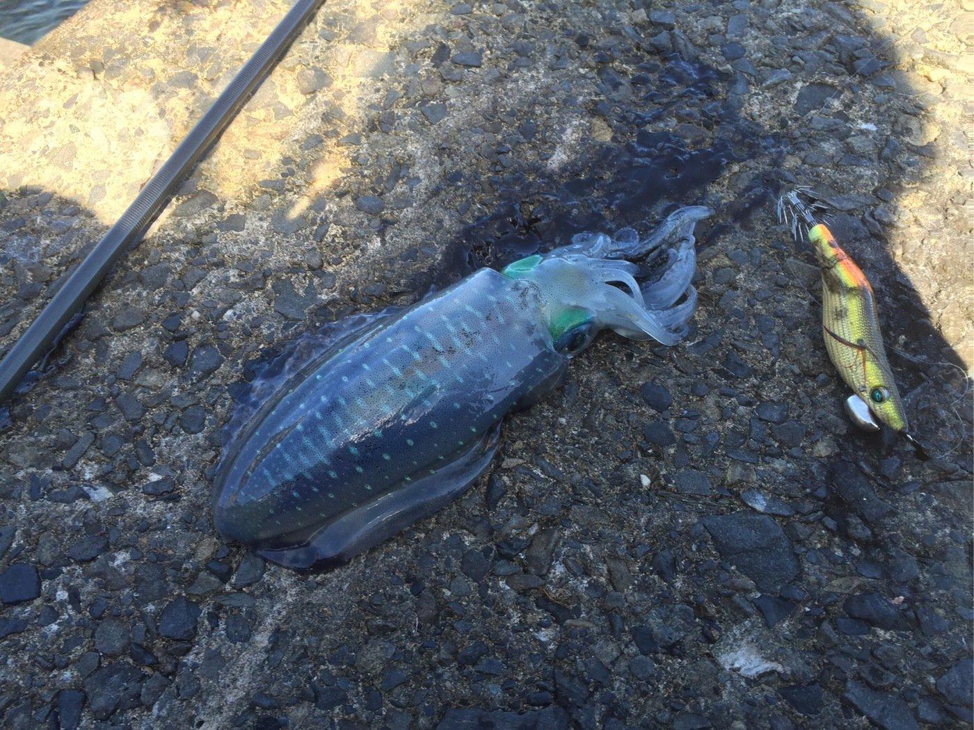 せいやさんの投稿画像,写っている魚はアオリイカ