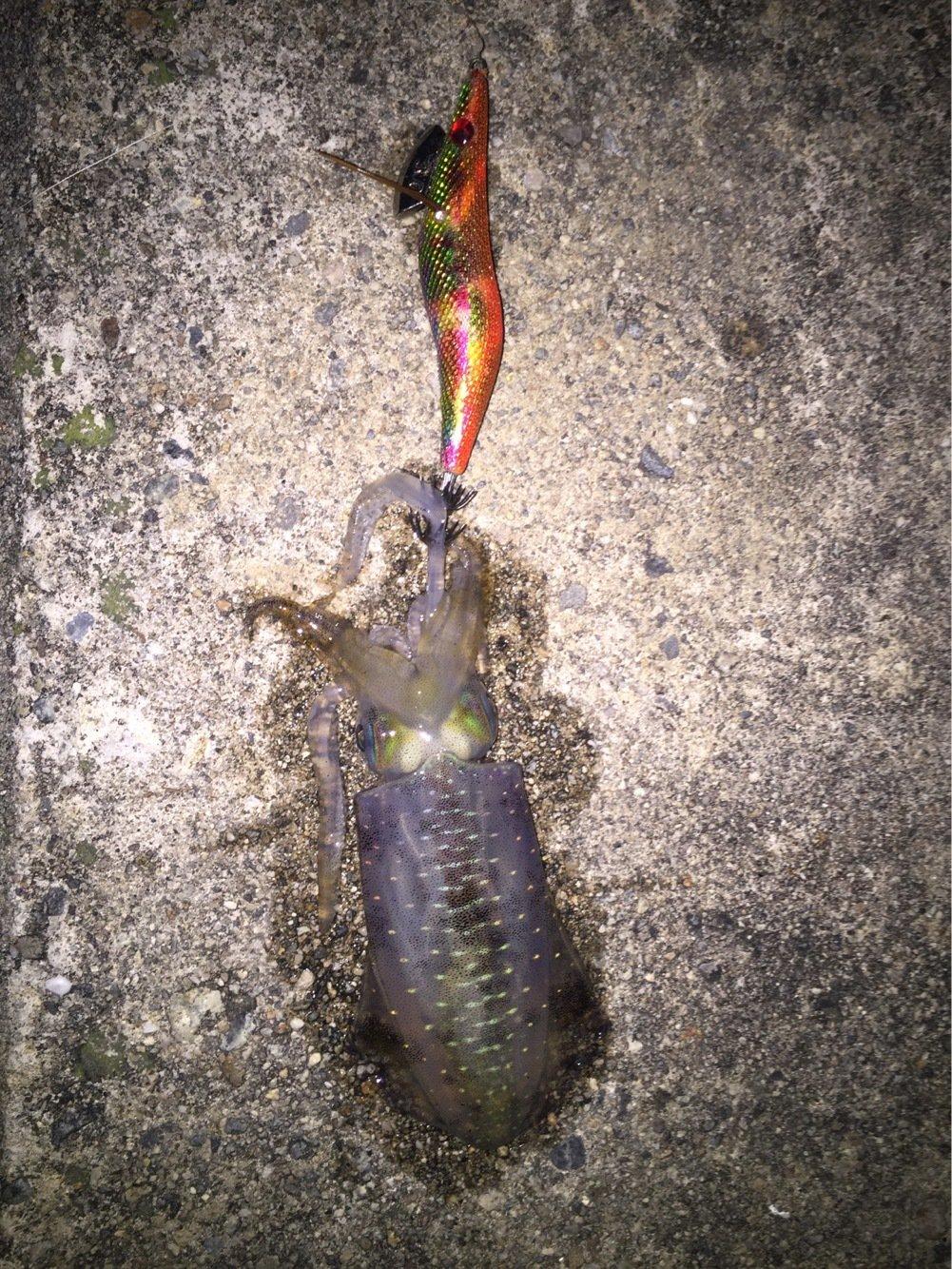 エイトさんの投稿画像,写っている魚はアオリイカ
