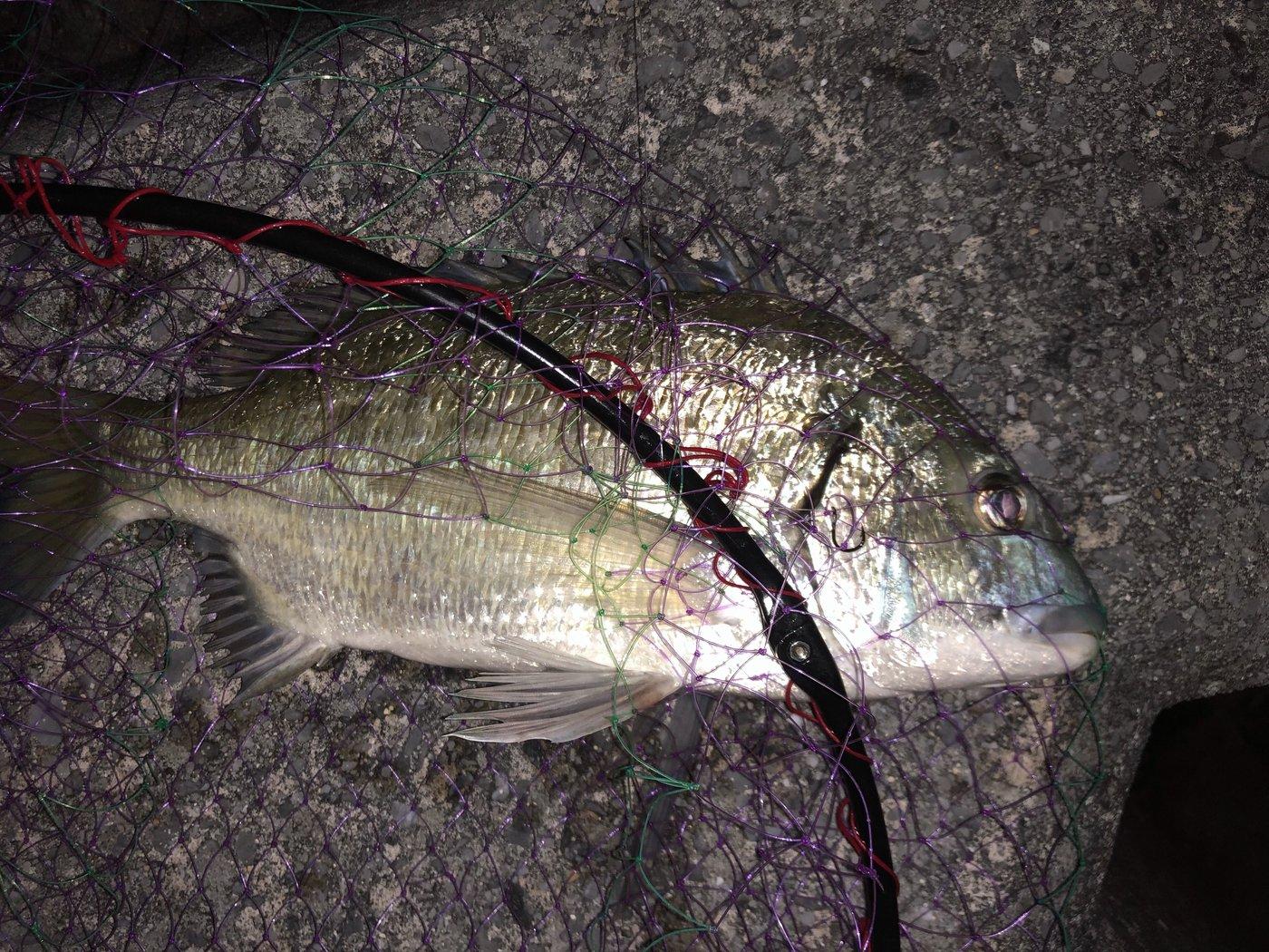 riceさんの投稿画像,写っている魚はクロダイ