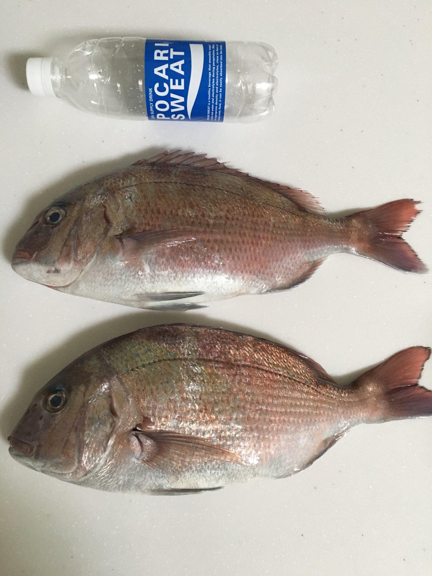 タニヤンさんの投稿画像,写っている魚はマダイ,