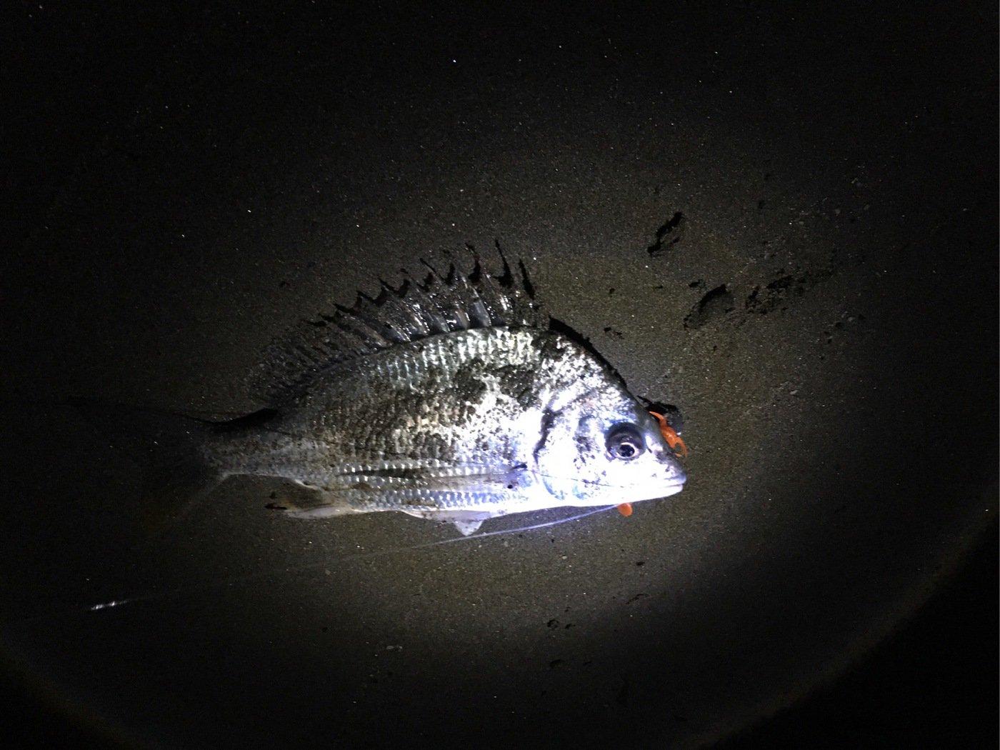 けんさんの投稿画像,写っている魚はキチヌ