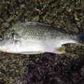 waowaoさんの和歌山県有田市での釣果写真