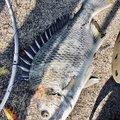 アーサーさんの広島県福山市での釣果写真